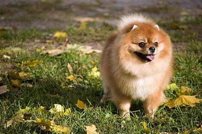 Decorative Photograph - Pomeranian Dog by Anna Aybetova