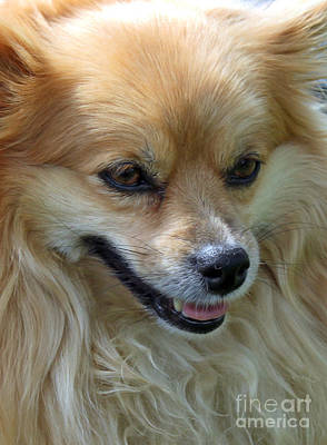 Photograph - Pomeranian Portrait by Debbie Hart