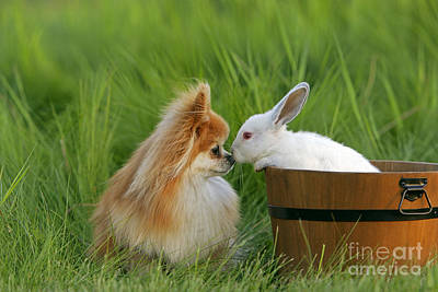 Photograph - Pomeranian With Rabbit by Rolf Kopfle