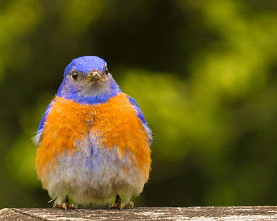 Photograph - Pompous Bluebird by Jean Noren