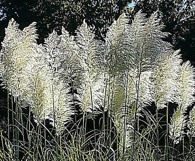 Photograph - Pompous Pampas by Suzy Piatt