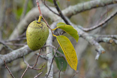Annona Photograph - Pond Apple Annona Glabra by rd Erickson