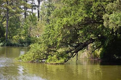 Botanical Painting - Pond At Norfolk Botanical Garden 10 by Lanjee Chee