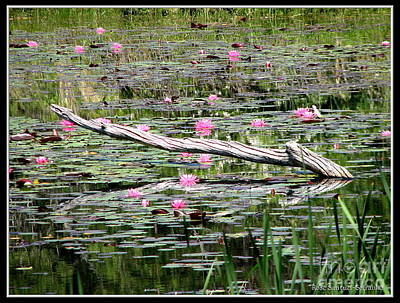 Photograph - Pond Of Pink Waterlilies by Rose Santuci-Sofranko