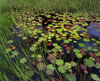 Pond With Lily Pads And Grasses Cape Cod Print by Tim Fitzharris