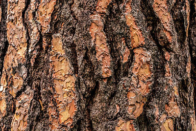 Ponderosa Pine Photograph - Ponderosa Pine Pinus Ponderosa Tree by Panoramic Images