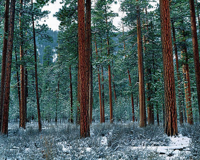 Trees In Snow Photograph - Ponderosa Pines In Snow, Deschutes by Panoramic Images