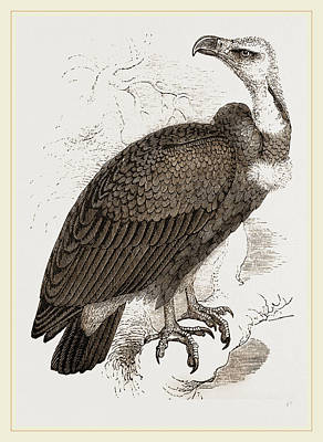 Vulture Drawing - Pondicherry Vulture by Litz Collection