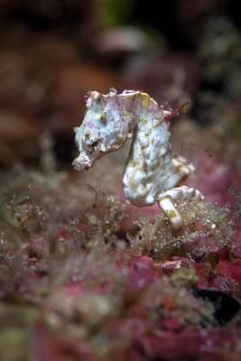 Pygmy Seahorse Photograph - Pontohi Pygmy Seahorse by Ethan Daniels