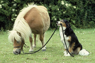 Photograph - Pony With Lead Rope Held By Sitting Dog by John Daniels
