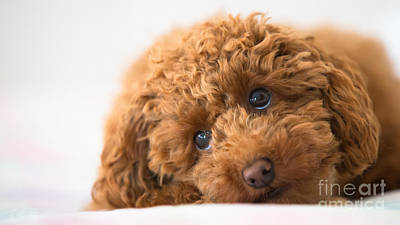 Photograph - Poodle by Maurizio Bacciarini