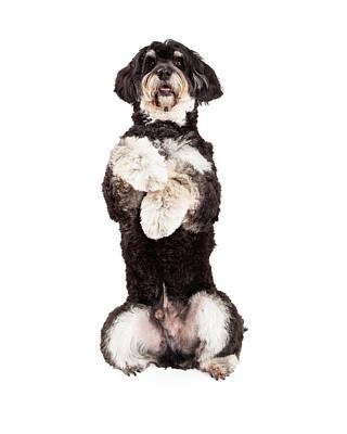 Poodle Photograph - Poodle Mix Breed Dog Begging by Susan Schmitz