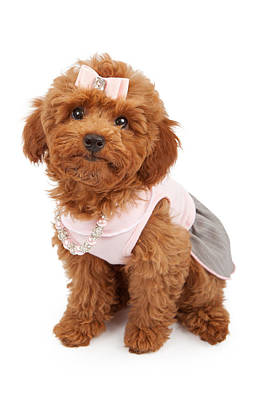 Poodle Puppy Wearing Pink Outfit Print by Susan Schmitz