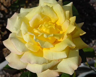 Photograph - Yellow Rose Of Texas by Liz Evensen