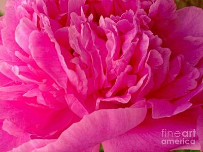 Photograph - Pop Of Pink Peony by Margaret Newcomb
