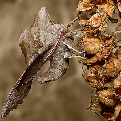 Canon 7d Photograph - Poplar Hawk Moth by Mr Bennett Kent
