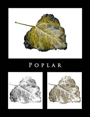 Photograph - Poplar Leaf 3x by Greg Jackson