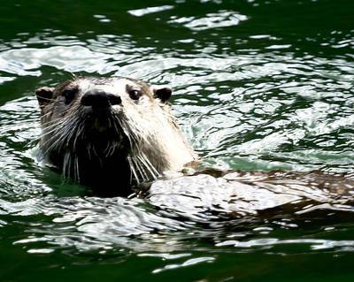 Photograph - Poppa Otter by Belinda Greb