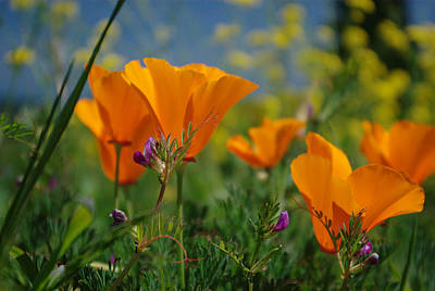Print featuring the photograph Poppies 2 by Ken Dietz