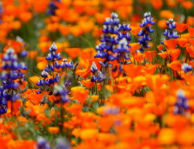 Poppies And Lupine Print by Bill Keiran