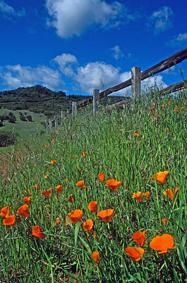 Poppies And The Fence Art Print by Kathy Yates