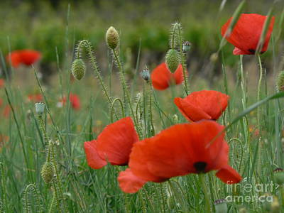 Poppies And Vines Art Print