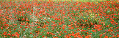 Poppies Growing In A Field, Sicily Art Print