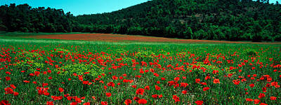 Provence Photograph - Poppies In A Field, Provence-alpes-cote by Panoramic Images