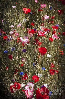 Cornflower Photograph - Poppies In Garden by Elena Elisseeva
