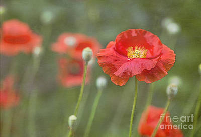 Photograph - Poppies In Still Wind by Elena Nosyreva