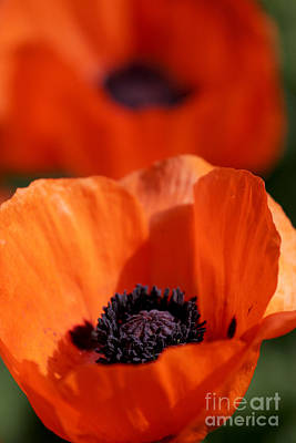Art Print featuring the photograph Poppies In Sunlight by Lincoln Rogers