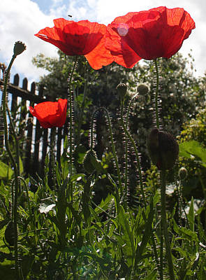 Photograph - Poppies In The Sun by Stephen Norris