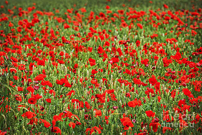 Natural Background Photograph - Poppies In Wheat by Elena Elisseeva