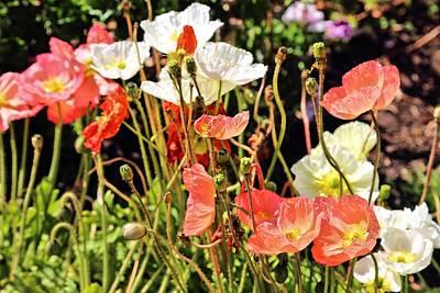 Photograph - Poppies by Jane Girardot
