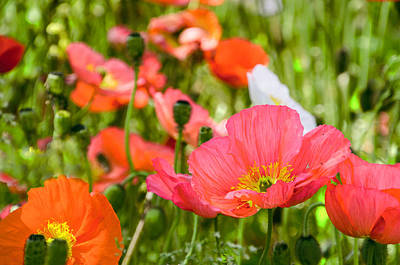 Photograph - Poppies by Marta Cavazos-Hernandez