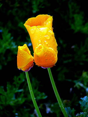 Photograph - Poppies Morning Dew by Jeff Lowe