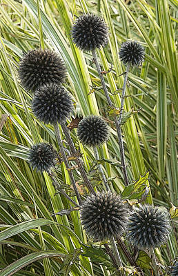 Photograph - Popping Thistles Waterperry Gardens Uk by Rob Huntley