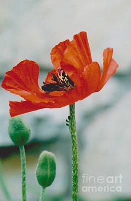 Photograph - Poppy - 1 by Jackie Mueller-Jones