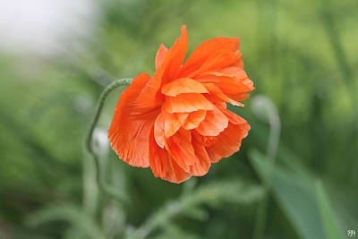 Photograph - Poppy 2 by John Meader