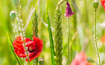 Photograph - Poppy Among The Wheat by Gary Gillette