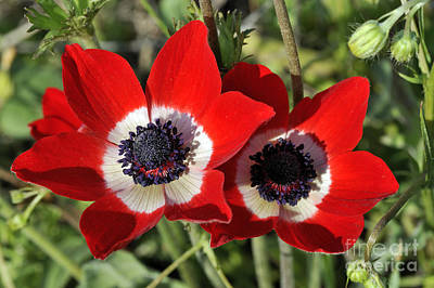 Print featuring the photograph Poppy Anemones by George Atsametakis