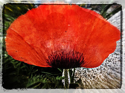 Photograph - Poppy Petal Art by Roxy Hurtubise