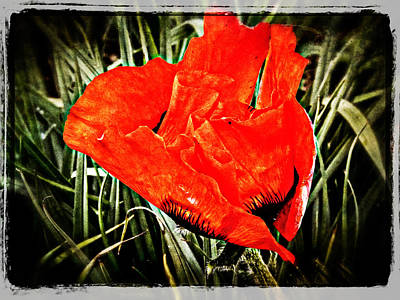 Photograph - Poppy Art 6 by Roxy Hurtubise