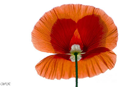 Photograph - Poppy Backlit by Wanda Krack