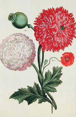 Poppy Art Print by Basilius Besler