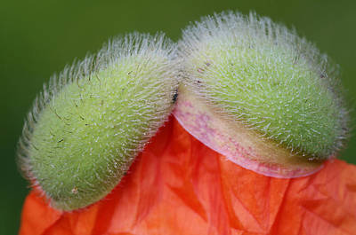 Photograph - Poppy Bud by Paul Miller