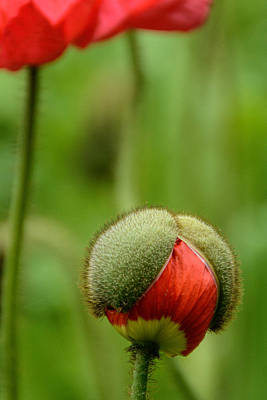 Photograph - Poppy Bud Vertical  by Jeanne May