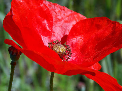 Photograph - Poppy by Chris Cox