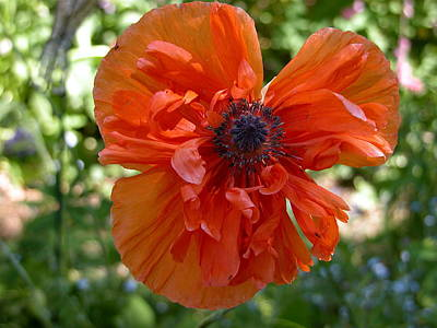 Valerie Paterson Wall Art - Photograph - Poppy In The Sun by Valerie Paterson