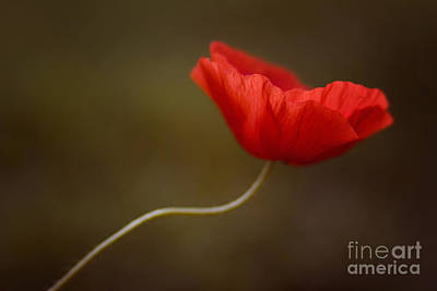 Poppy Art Print by Diana Kraleva